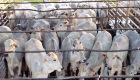 Negócios no mercado de reposição de bovinos seguem lentos