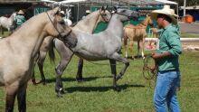 Julgamento do cavalo pantaneiro
