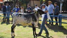 18ª Exposição Ranqueada da Raça Girolando - ExpoMS Rural 2018