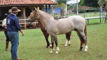 Exposição Incentivo Potros do Cerrado - Cavalo Crioulo