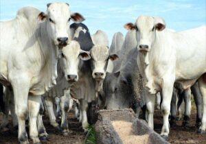 Com mercado do boi gordo em banho-maria, estabilidade nos preços da arroba é mantida