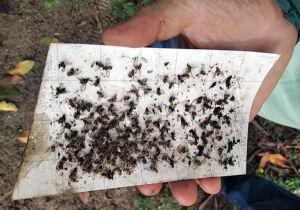 Mapa previne a dispersão da mosca-da-carambola na República da Guiana