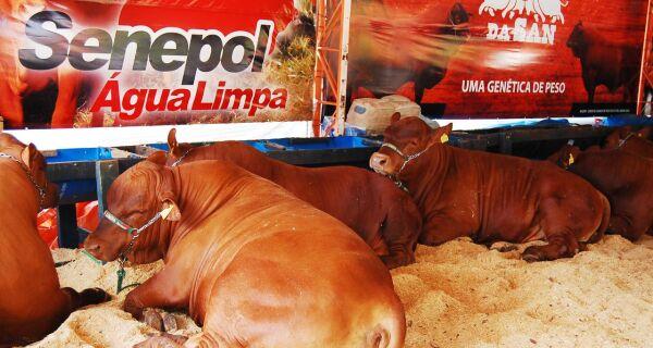 Faturamento do leilão da raça Senepol está previsto para R$ 800 mil