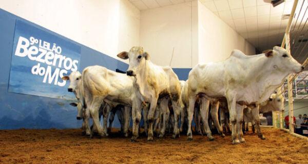 9º Leilão Bezerros do MS segura alta média de preços de animais