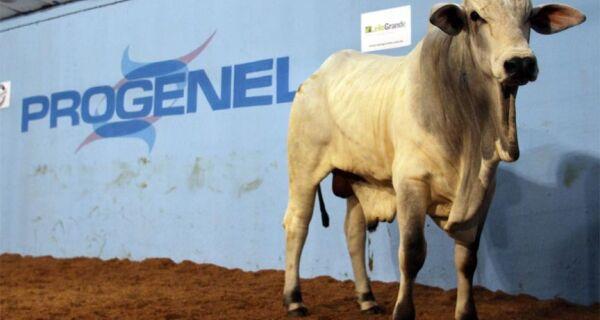 3º Leilão Reprodutores Nelore Progenel comercializa touros selecionados