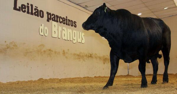 Leilão Parceiros do Brangus comercializa melhores exemplares da raça