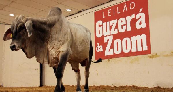 Leilão Guzerá da Zoom vende touros a R$ 5 mil e bezerros a R$ 800,00
