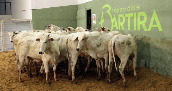 Leilão Fazendas Bartira comercializa fêmeas da raça nelore com até 30 meses por R$ 1,2 mil