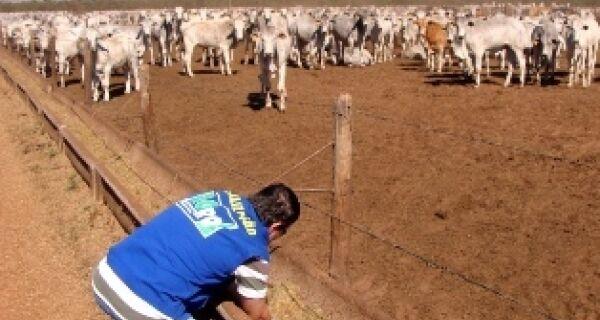 Prevenção à vaca louca leva 1,6 mil bois a sacrifício em Três Lagoas
