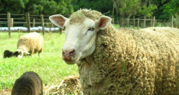 O desafio de vender carne de ovelha em larga escala