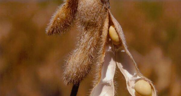Mais de 76% da soja cultivada no Brasil é transgênica, diz Céleres