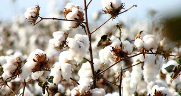 Negociação de algodão no Brasil segue lenta
