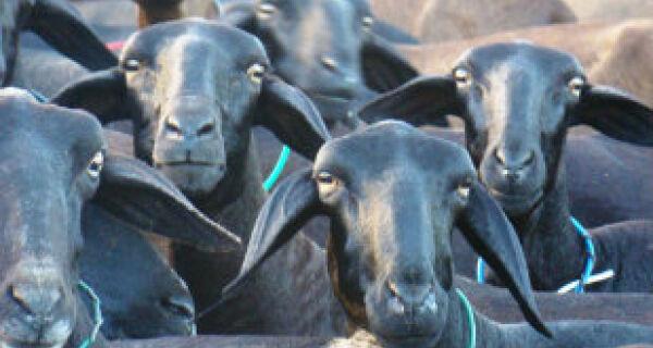 Pesquisadores identificam mutação genética em ovelhas santa inês