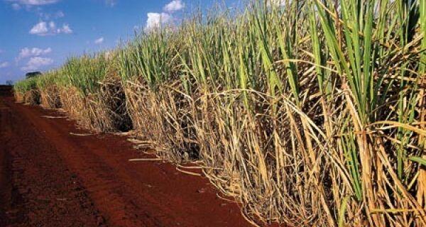 MG se consolida como 2°  maior produtor de cana-de-açúcar do país