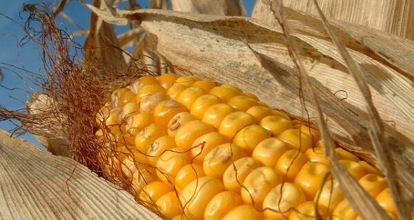Dourados deve colher 342 mil toneladas de milho