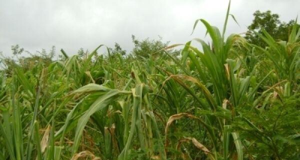Clima provoca quebra da safra de milho em MS, apontam produtores