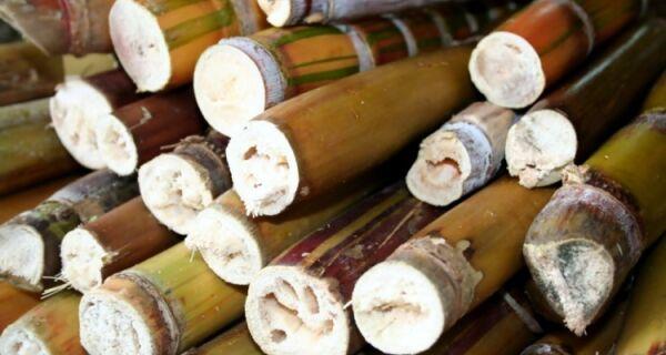 Cana-de-açúcar é a planta mais eficiente no mundo energético