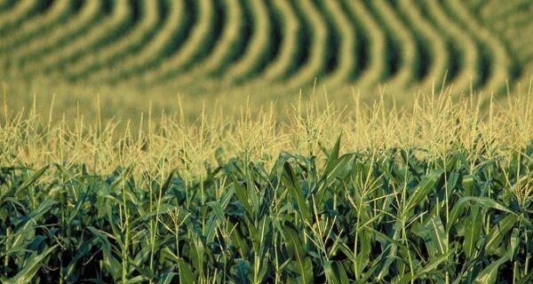 Mesmo com mais área plantada, MS reduz produtividade do milho