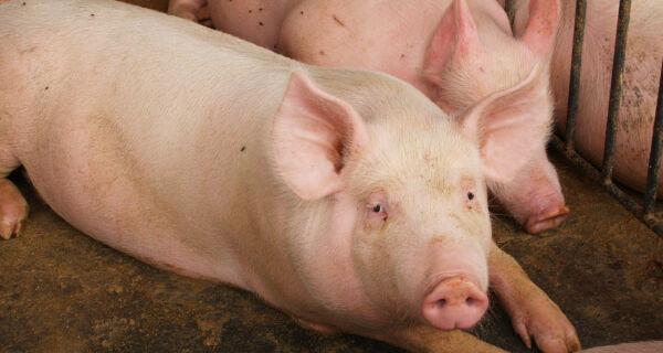 Galinhas e porcos serão expulsos de cidade de Dourados