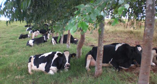 Sistema agrossilvipastoril para a produção de leite no Semiárido