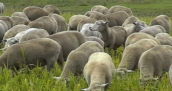 Produtor vê potencial para criação de ovinos em Mato Grosso do Sul
