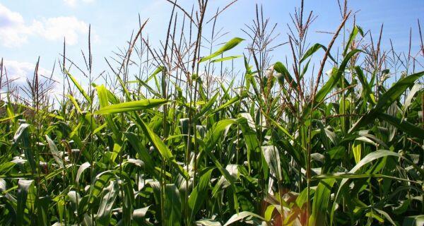 Preço em alta faz agricultor vender milho que será plantado em 2012