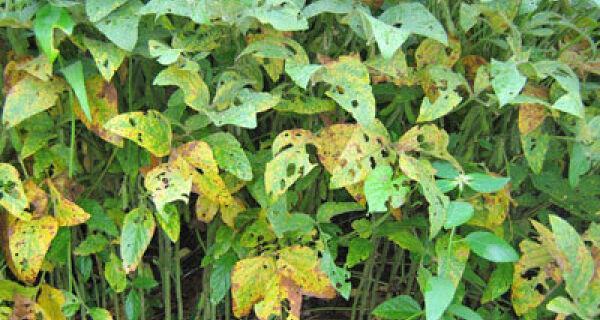 Ferrugem na soja provoca prejuízos de R$ 9 bilhões aos produtores de MT