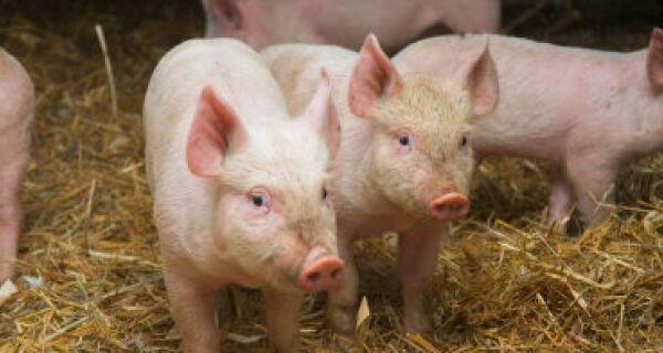 Mesmo com embargo, Rússia ainda lidera importações de carne suína do Brasil