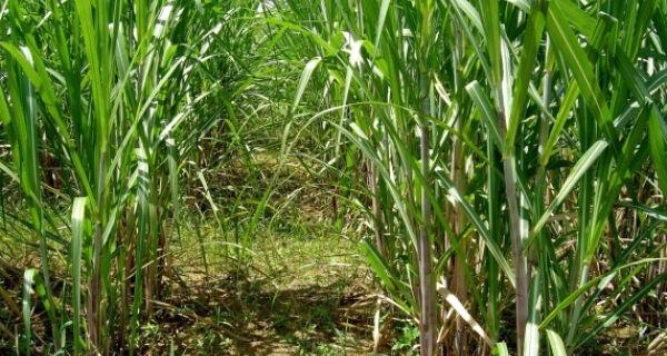 Estudo da CNA mostra melhoria na rentabilidade da produção de cana-de-açúcar