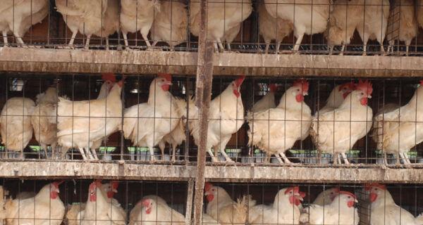 Serviço de rastreabilidade de bovinos será usado com aves e suínos