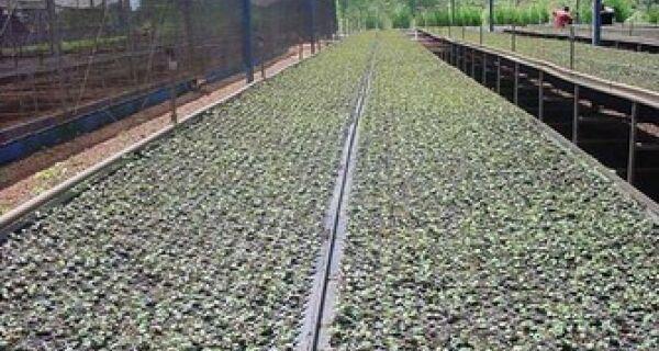 Estado inicia plantio de clones de eucalipto