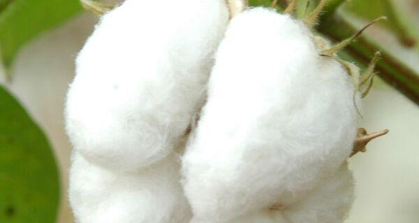 Brasil tem 7,2% de participação da produção mundial de algodão em pluma