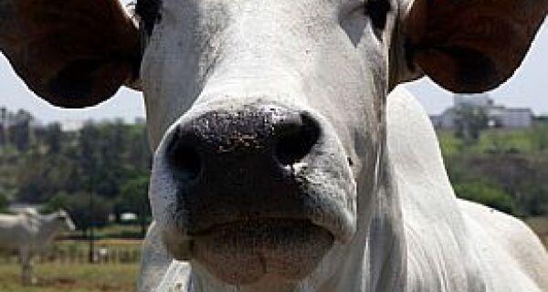 Em Campo Grande, cai preço do boi e sobe o da soja