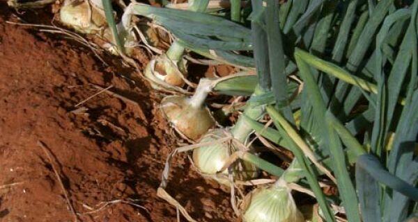Dia de campo vai mostrar cultivo de cebola orgânica