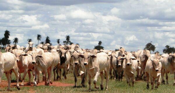 Transferência de embriões para reprodução garante eficiência na pecuária