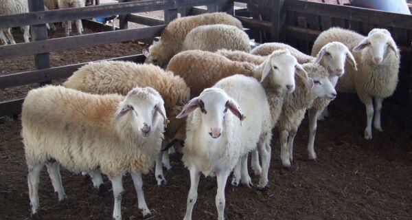 Cerca de 60% do consumo de carne ovina do Brasil é importada