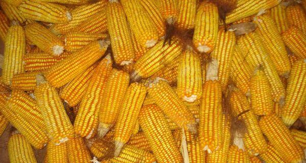 Leilão vai negociar 80 mil toneladas de milho