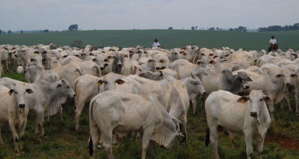 Raça nelore domina criação de gado no país