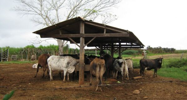 Problemas no casco de bovinos podem resultar em prejuízos aos pecuaristas