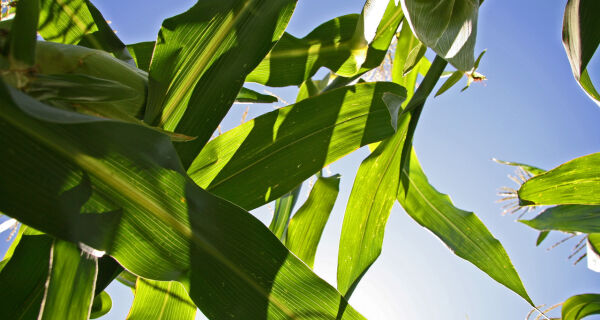 Cerca de 50% do milho plantado em Dourados corre risco