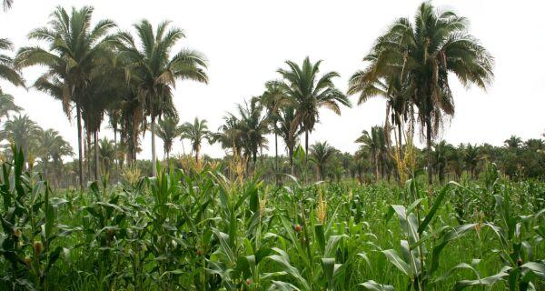 Safrinha volumosa no Brasil pode derrubar preços do milho
