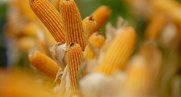 Baixas temperaturas preocupam agricultores de milho safrinha em MS