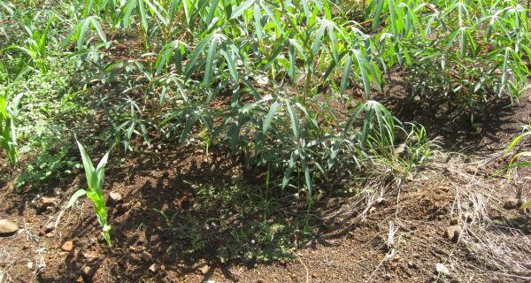 Mercado garante bons rendimentos para produtores de mandioca