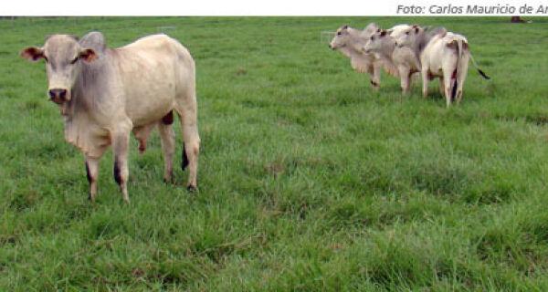 Nova braquiária Tupi propicia maior ganho de peso animal