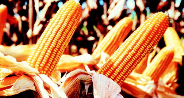 Produção brasileira de milho vai contribuir para abastecimento mundial