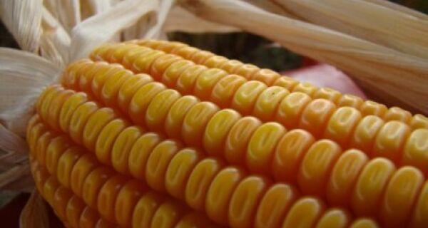 Compradores optam por milho e trigo brasileiros para ração