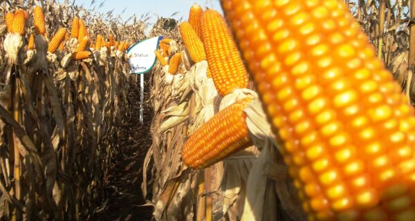 Preço do milho estável deve incentivar comercialização do produto