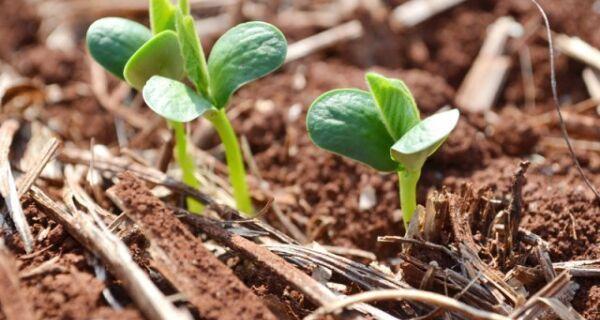 Antecipação da semeadura da soja no MS exige cautela