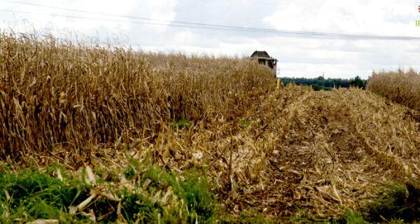 Colheita do milho 'safrinha' chega a 98% em MS