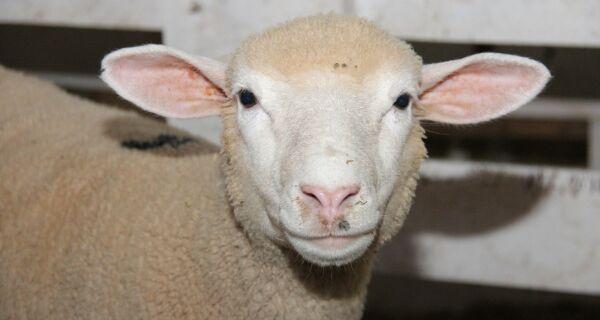 Setor produtivo de caprinos e ovinos se reúne em Brasília